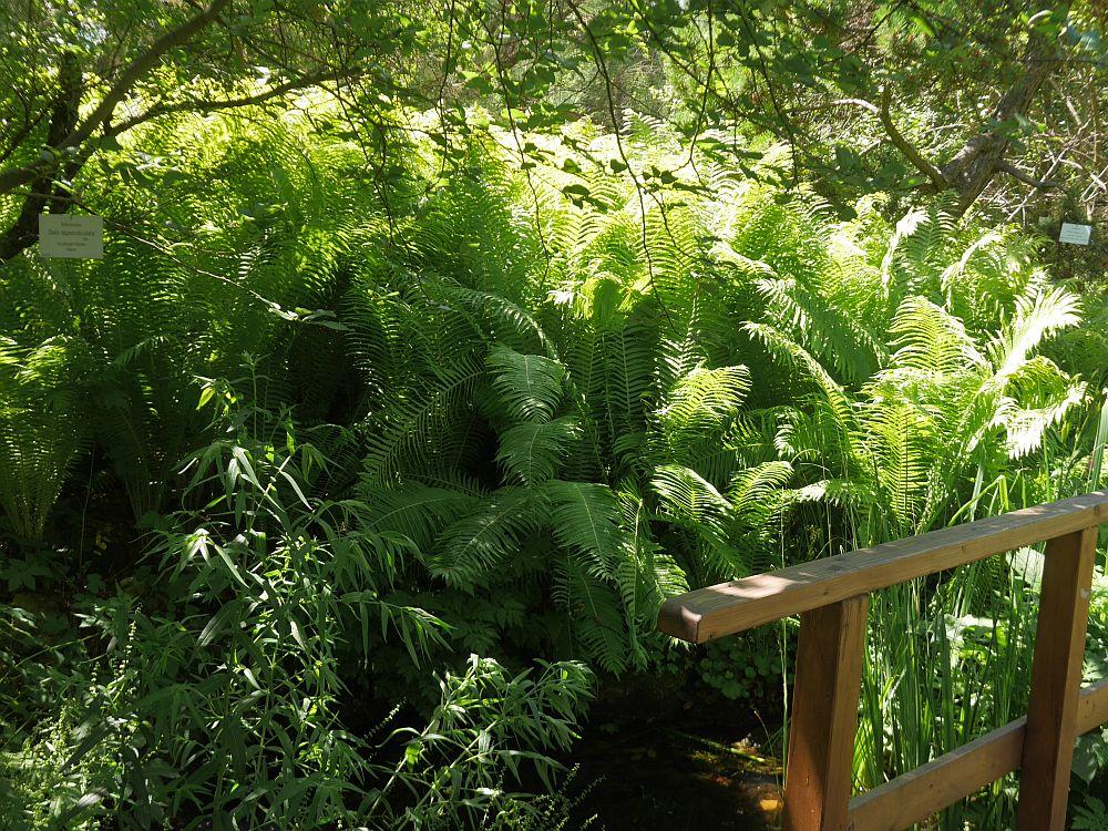 Ostrich fern growing well in damp soil by a stream