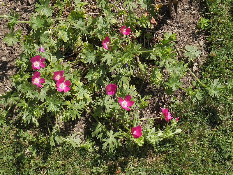 Callirhoe is a  great edimental in the Mallow family from North America