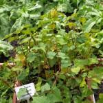 Perennial buckwheat, Fagopyrum cymosum