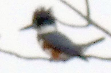 There were lots of birds on the farm...here a distant belted kingfisher I think...