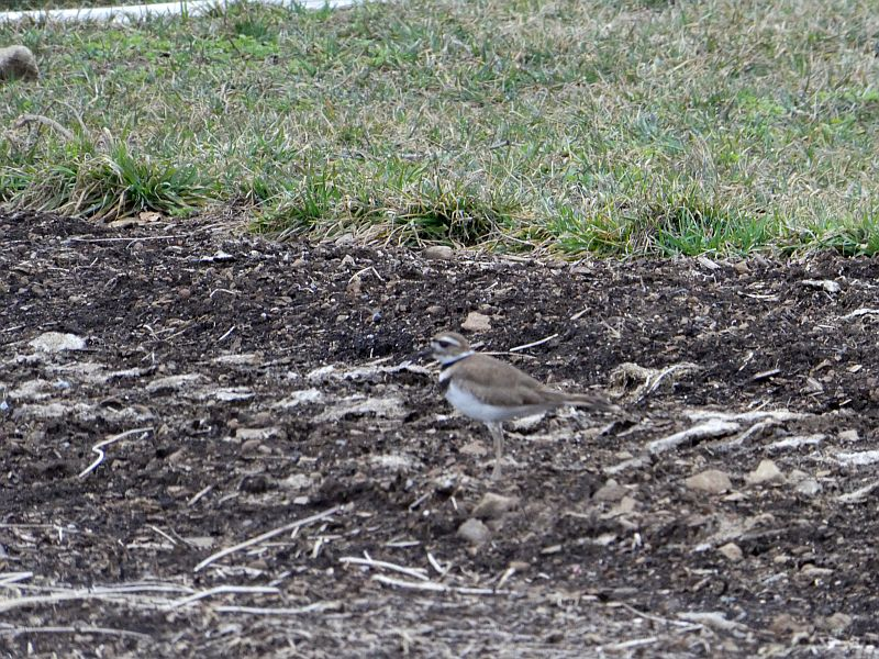 ...and even Killdeers on open ground on the farm (NB! the strange name killdeer is from the bird's kill-deer call  ;) )