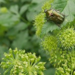 Cetonia aurata (rose chafer / gullbasse) on Angelica