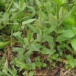 Scutellaria galericulata, common skullcap (skjoldbærer), not edible, sometimes used medicinally