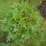 Ligusticum scoticum is edible