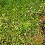 Twinflower, Linnea borealis