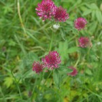 A nice deep coloured red clover