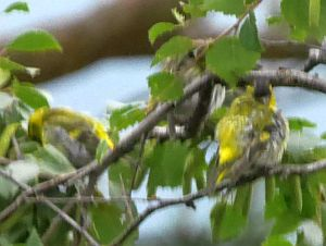 Difficult to photograph as the siskins are mainly in the tree tops...