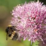 Allium hymenorhizum