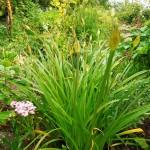 Allium wallichii in bud
