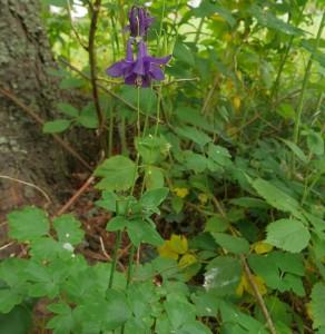 Aquilegia vulgaris, akeleie