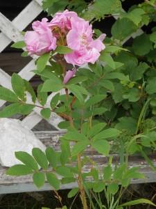 Ukjent rose