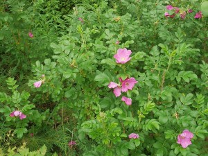 Rosa rugosa, rynkerose