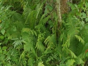 Strutseving er tydeligvis plantet inn i bedet nærmest huset...vokser vilt i skogen sør vest for hagen og langs elven