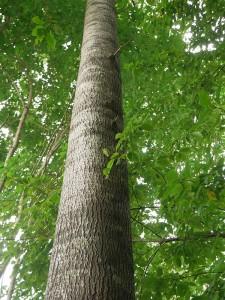 Store osp:  masse ospeskudd er klar i skogsbunnen