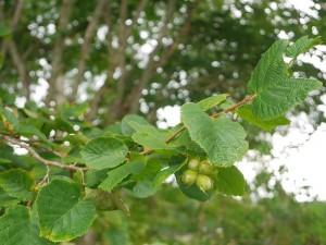 Hasselnøtter; trær finnes også andre steder i hagen, mest sannsynlig forvillet