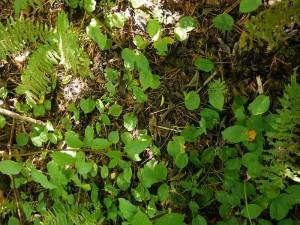 Maianthemum bifolium, bittekonvall