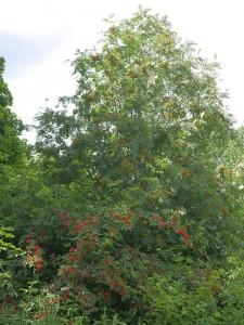 Invasiv Sambucus racemosa (rødhyll) og rogn