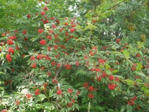 Invasiv Sambucus racemosa (rødhyll)