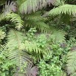 Ostrich fern (strutseving) with enchanters nightshade (trollurt)