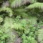 Ostrich fern (strutseving) with enchanters nightshade (trollurt)