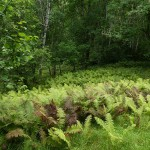 More ostrich fern (strutseving)