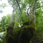 There were many amazing trees, many of which were pollarded (for animal feed in the past)