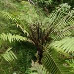This ostrich fern had over 30 fertile fronds in the centre!!