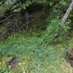 Clambering wood vetch (skogsvikke)