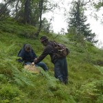 Picking chantarelles