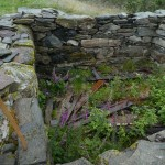 Foxglove (revebjelle) within the protection of this old wall