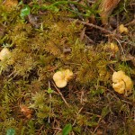 Just a few minutes into the woods and there were a lot of young chantarelles (kantarell) on the way up...a good sign as it's not often I find them this quickly...there were also a few hedgehog fungi (piggsopp)