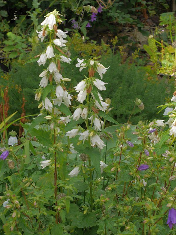 """Campanula trachelium """"Alba"""" (Nettle-leaved bellflower/nesleklokke)"""