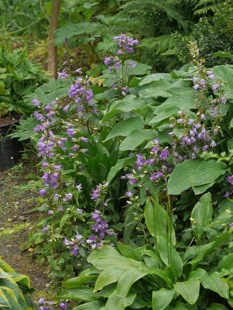 Campanula trachelium (Nettle-leaved bellflower/nesleklokke)
