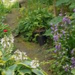 """Campanula trachelium (Nettle-leaved bellflower/nesleklokke) and Hosta """"Frances Williams"""""""