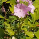 Malva moschata (Musk mallow / moskuskattost) with Ginkgo leaves