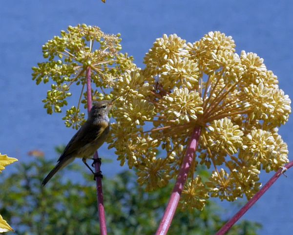 Who are you sitting in my Angelica atropurpurea? Fieldfare / gråtrost?