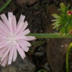 Nice pink form of chicory / sikkori