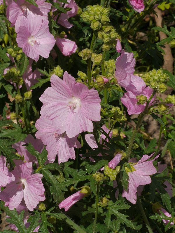 Malva alcea (Hollyhock Mallow/Rosekattost)