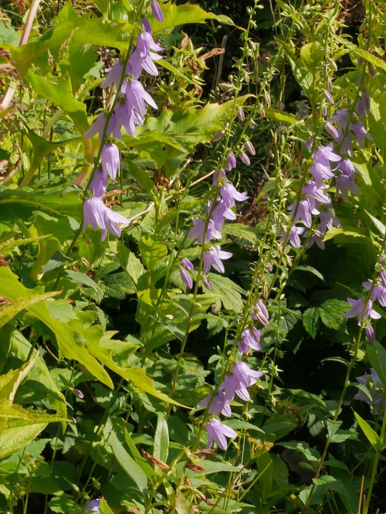 Campanula rapunculoides (creeping bellflower / ugressklokke)
