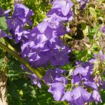 Campanula persicifolia (Peach-leaf Bellflower/fagerklokke)