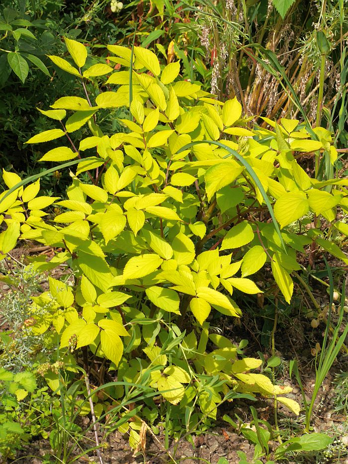 """Aralia cordata """"Sun KIng"""" hasn't grown much, but this spot is probably a bit too dry for it"""