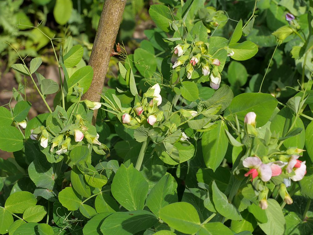 Salmon-flowered pea has dense umbels of beautiful flowers!