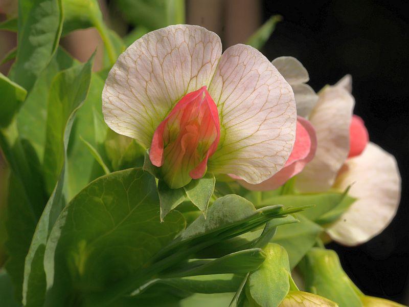 Salmon-flowered pea has dense umbels of beautiful flowers!