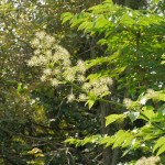 Udo, Aralia cordata in flower