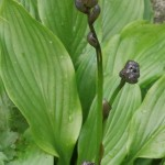 I got this one as Hosta fluctuans and it has gorgeous very dark flower buds