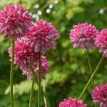 Allium jajlae