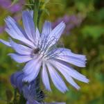 Chicory / sikkori
