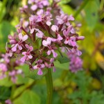 Fedia cornucopiae