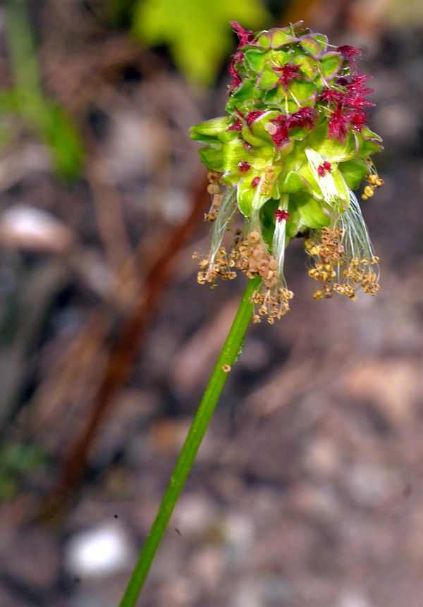 Sanguisorba minor (Salad burnet; pimpernell)
