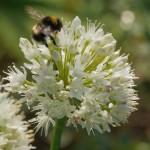 Allium nutans or hybrid from Kazakhstan